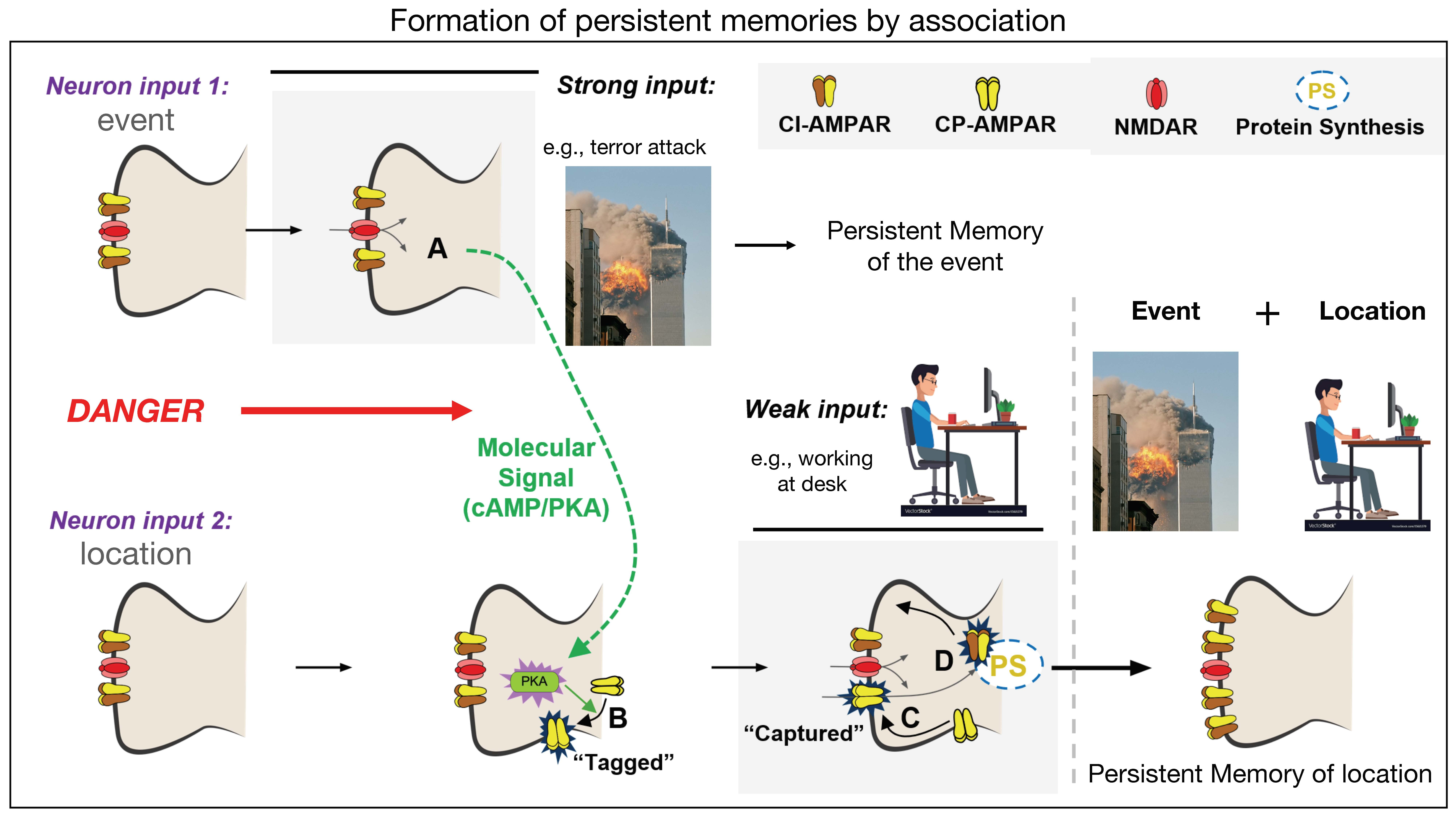 formation of persistent memories by association